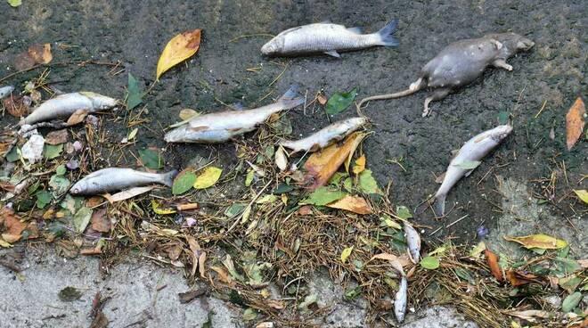 Moria di pesci Fiume Olona Legnano